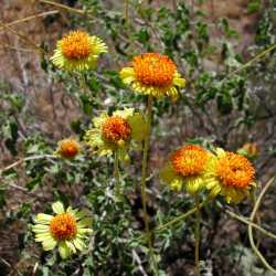 Image of Encelia virginensis