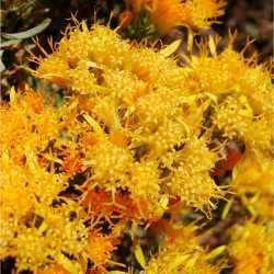 Image of Ericameria laricifolia