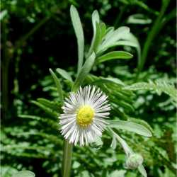 Image of Erigeron bellidiastrum