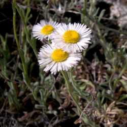 Image of Erigeron colomexicanus