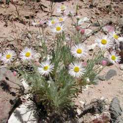 Image of Erigeron concinnus