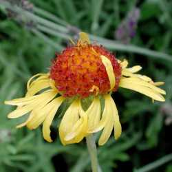 Image of Gaillardia pinnatifida