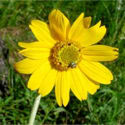 Image of Helianthella quinquenervis