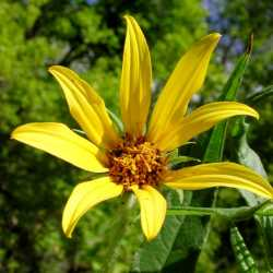 Image of Helianthus nuttallii