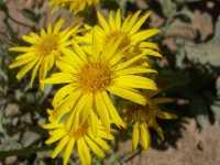Image of Heterotheca rutteri
