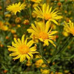 Image of Heterotheca subaxillaris