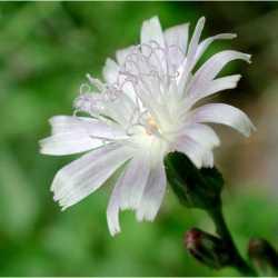 Image of Lactuca tatarica