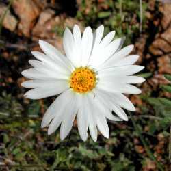 Image of Layia glandulosa