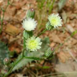 Image of Malacothrix clevelandii