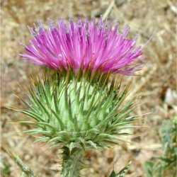 Image of Onopordum acanthium
