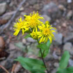 Image of Solidago parryi