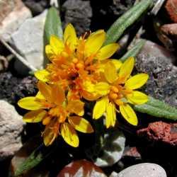 Image of Pectis angustifolia
