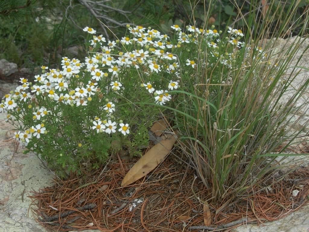 Perityle coronopifolia image