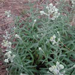 Pseudognaphalium macounii image