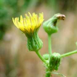 Image of Sonchus asper