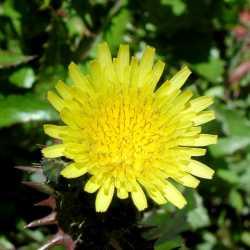 Image of Sonchus oleraceus