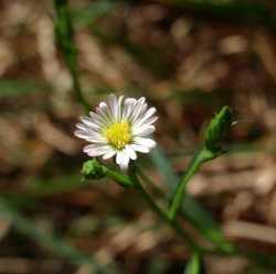 Image of Symphyotrichum divaricatum