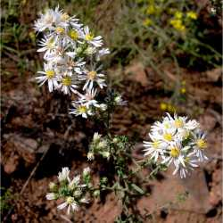 Image of Aster ericoides