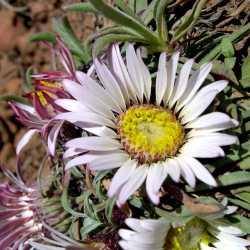 Image of Townsendia exscapa