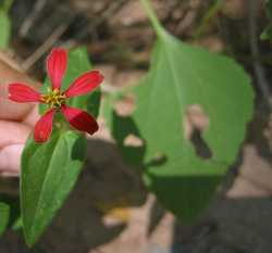 Zinnia peruviana image