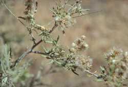 Image of Ambrosia eriocentra