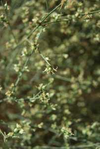 Image of Ambrosia salsola