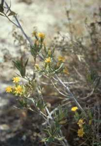 Trixis californica image