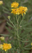 Image of Picradeniopsis woodhousei
