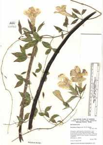 Image of Macfadyena unguis-cati