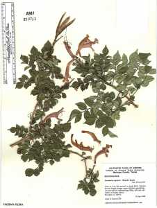 Image of Tecoma capensis