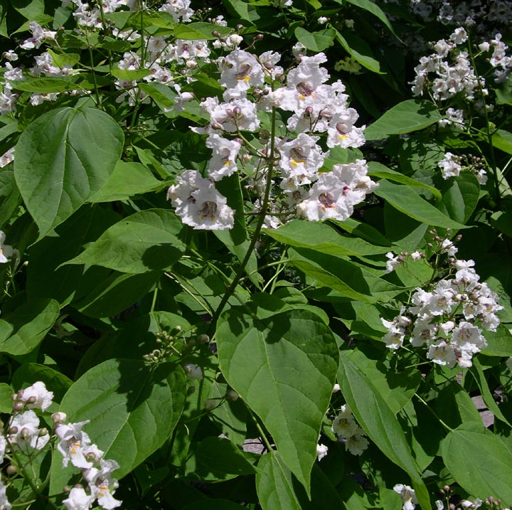 Bignoniaceae image