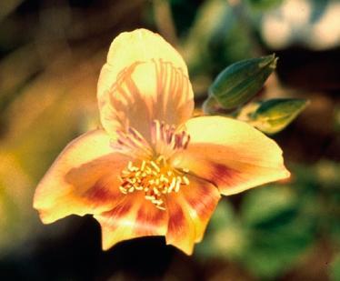 Bixaceae image