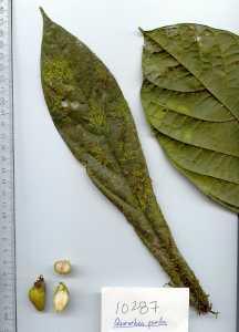 Image of Quararibea pumila