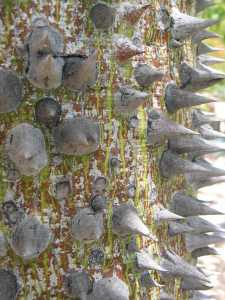 Image of Ceiba speciosa