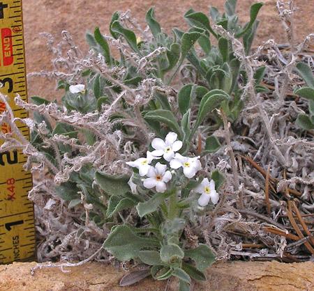 Cryptantha tenuis image
