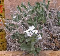 Image of Cryptantha tenuis
