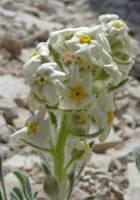 Image of Cryptantha humilis