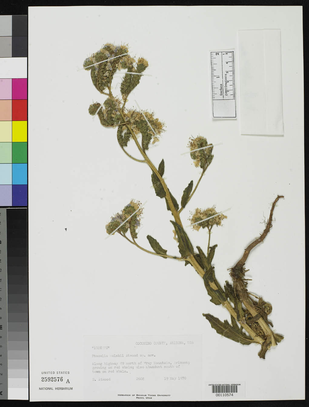 Phacelia welshii image