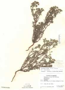 Image of Cryptantha albida