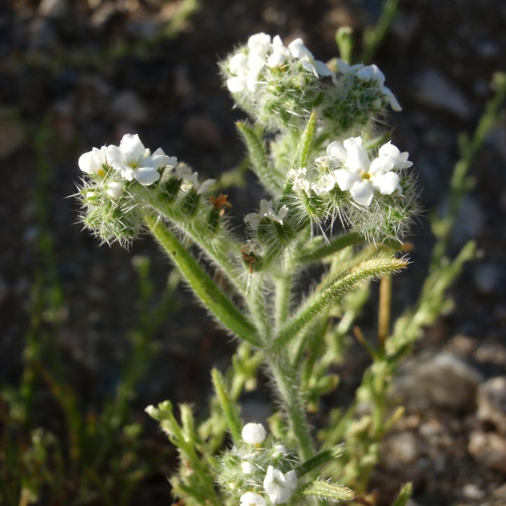 Cryptantha angustifolia image