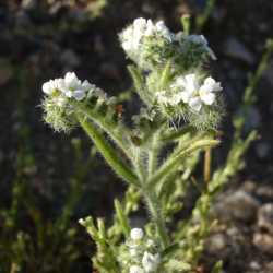 Image of Cryptantha angustifolia