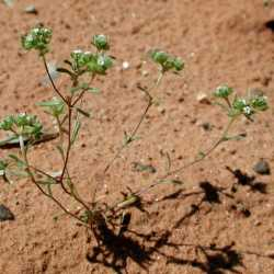 Image of Cryptantha micrantha