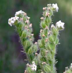 Image of Cryptantha setosissima