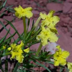 Image of Lithospermum incisum