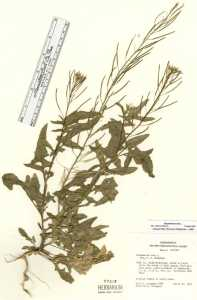 Sisymbrium irio image