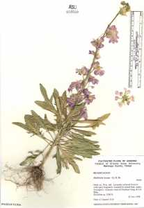 Image of Matthiola incana