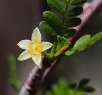 Image of Bursera microphylla