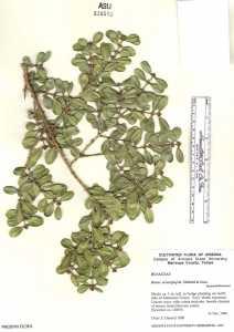Image of Buxus microphylla