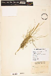 Aristida divaricata image
