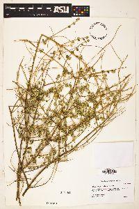 Aloysia wrightii image